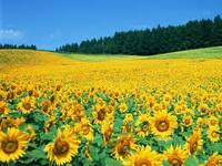 Sunflower, Soybean, Rapeseed, Corn Oil, Palm Oil