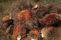Palm Oil and Palm Nuts