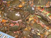 Fish Frozen / Dried / Salted-Crabs Live / Frozen