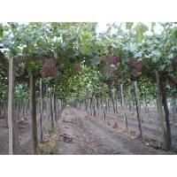 Argentine Bulk Wine