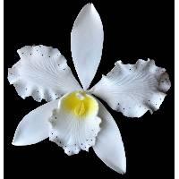 Wild Cattleya