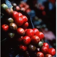 Green ,  Jamaica Blue  Mountain   Coffee