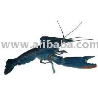 Australian Crayfish (Red Claw)