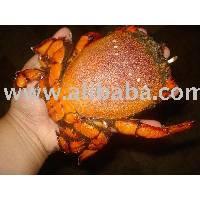 Curacha / Sea Cockroach