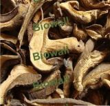 Wild Porcini Mushrooms Boletus Edulis