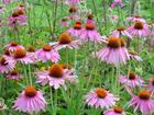 Echinacea Purpurea P. E.