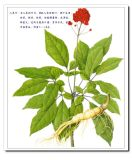American Ginseng Root P. E.