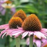 Echinacea Purpurea Herb Extract (4% Phenolic)