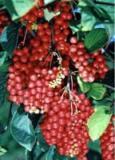 Schisandra Chinensis Extract/Schisandra Chinensis Bail
