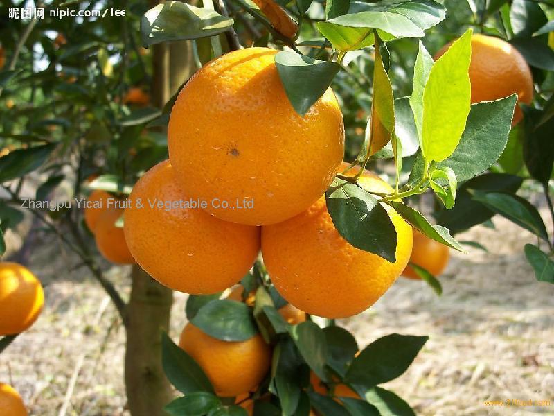 Shatang orange