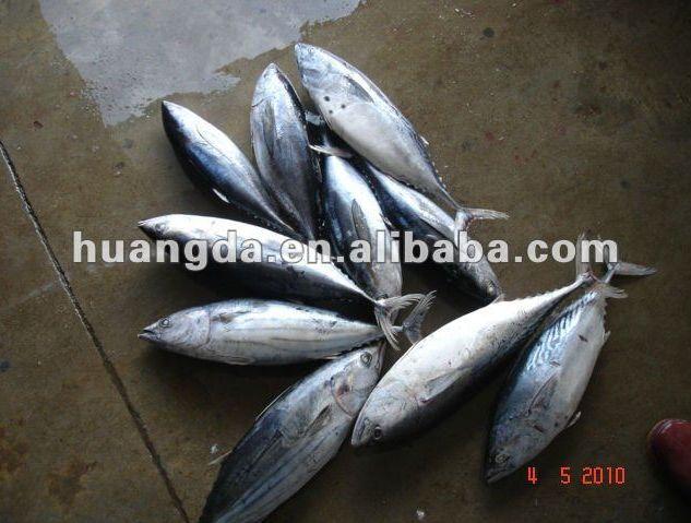 Eastern little tuna - photo#27