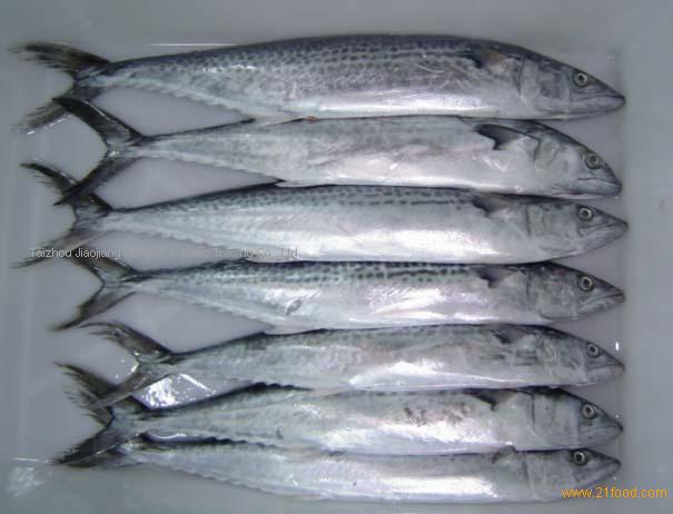 Frozen spanish mackerel frozen fish fillet products china for Spanish mackerel fish