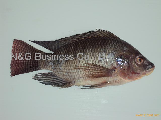Tilapia fish products thailand tilapia fish supplier for What kind of fish is tilapia