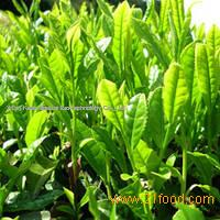 Tea Polyphenols extract