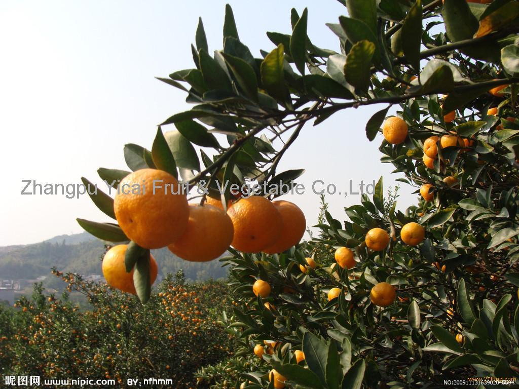 Nanfeng orange11