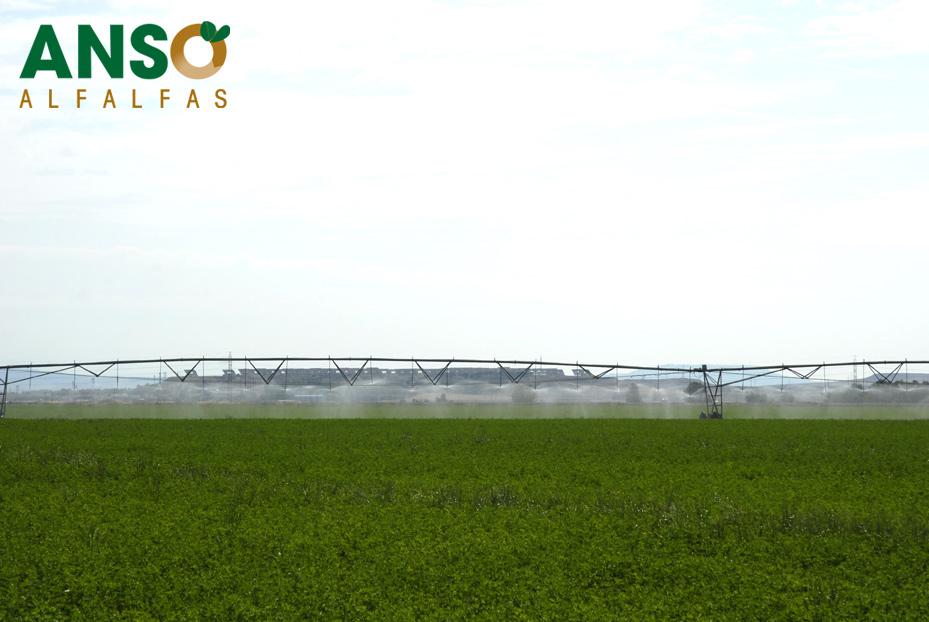 Dehydrated Alfalfa products,Spain Dehydrated Alfalfa supplier929 x 622 jpeg 176kB