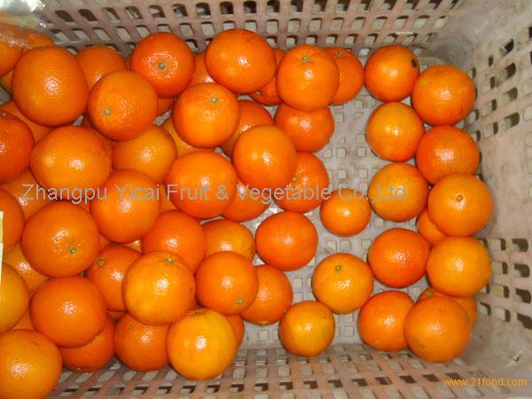Navel orange05