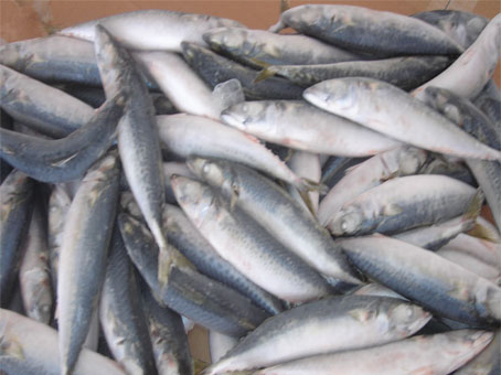 Frozen fish mackerel products cameroon frozen fish for How to freeze fish
