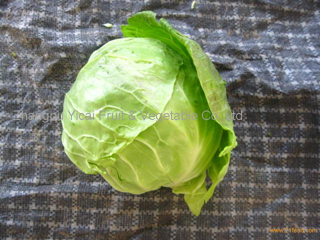 Chinese round cabbage004