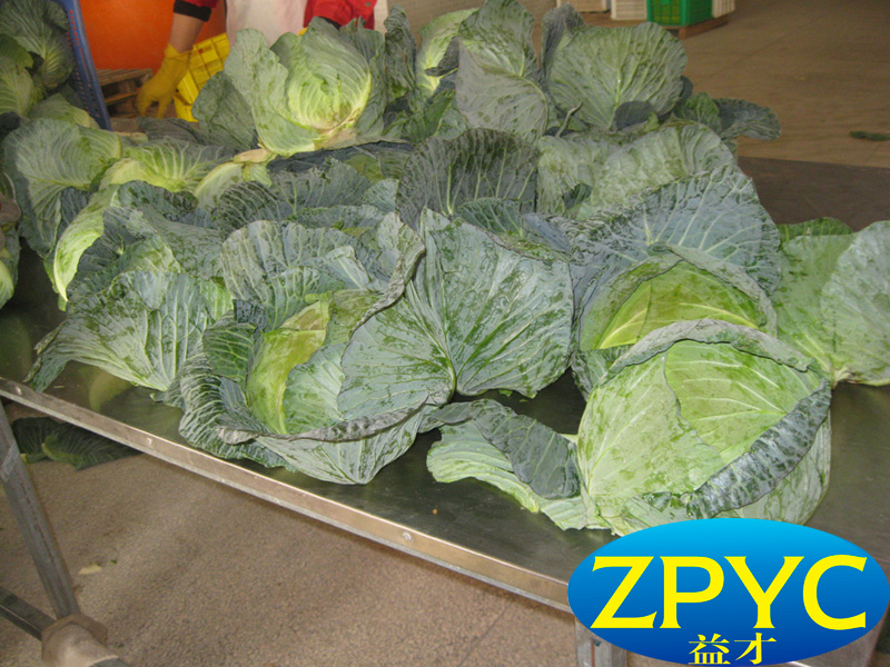 green round cabbage