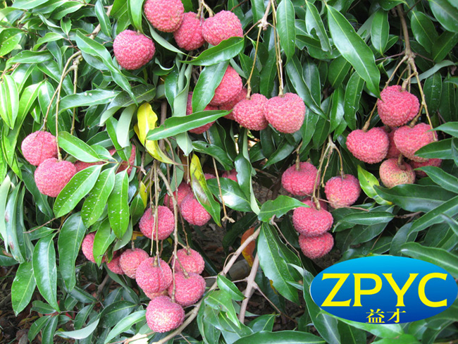 chinese sweet Lychee