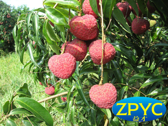 Fresh and sweet Lychee