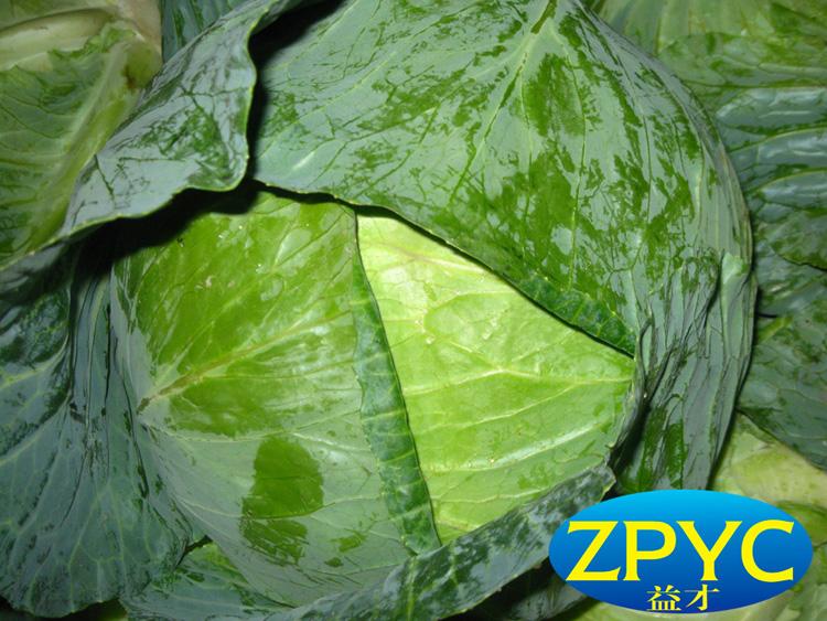 2015 fresh round cabbage