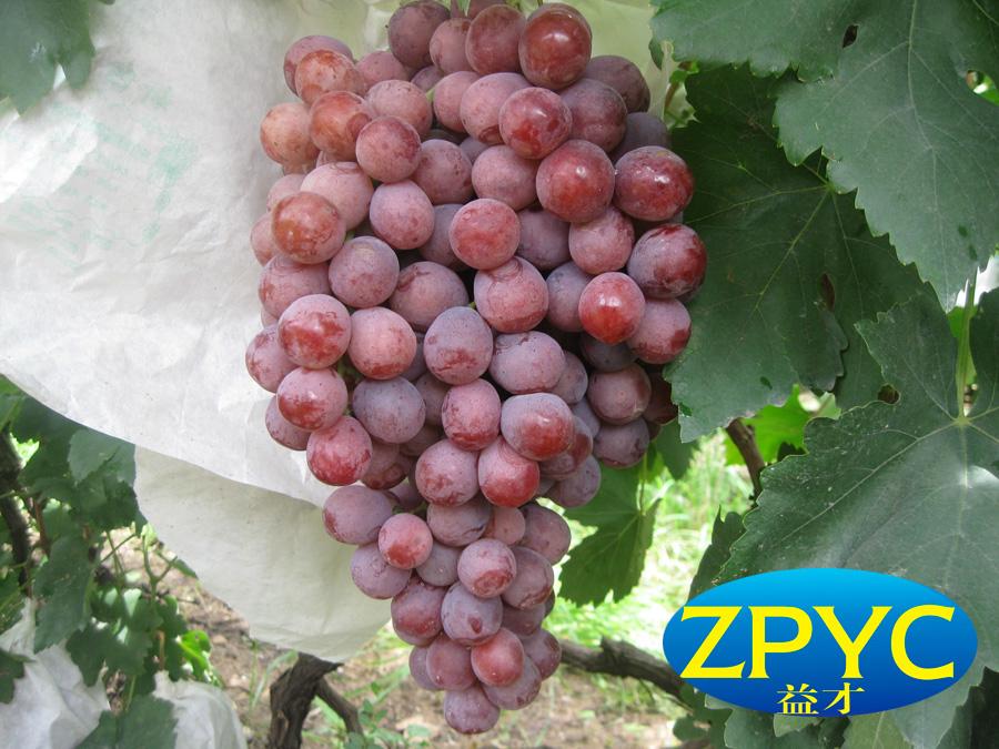 Yunan red globe grape