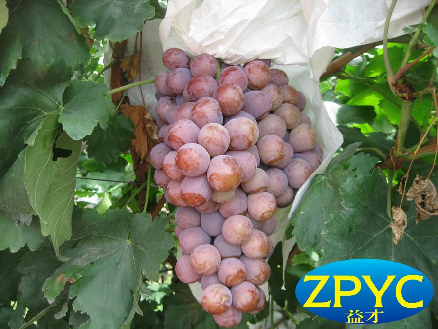 chinese fresh grape