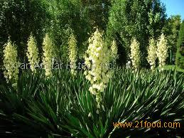 how to make yucca extract