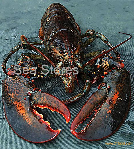 ... lobsters for sale products,Cameroon giant jumbo lobsters for sale Lobster For Sale