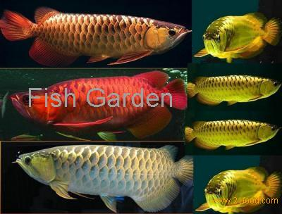 Arowana fishes and others for sale products united states for Red arowana fish for sale in usa