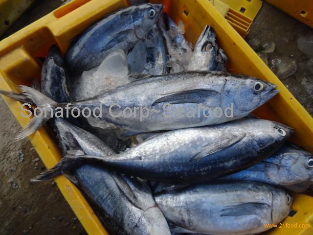 Eastern little tuna - photo#28
