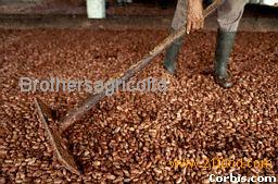 Fermented Dried Cocoa Beans