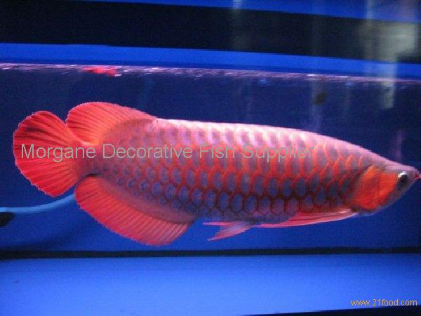 Arowana red fish products cameroon arowana red fish supplier for Red arowana fish for sale in usa