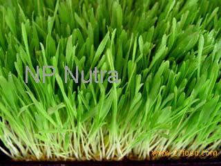 how to take barley grass powder