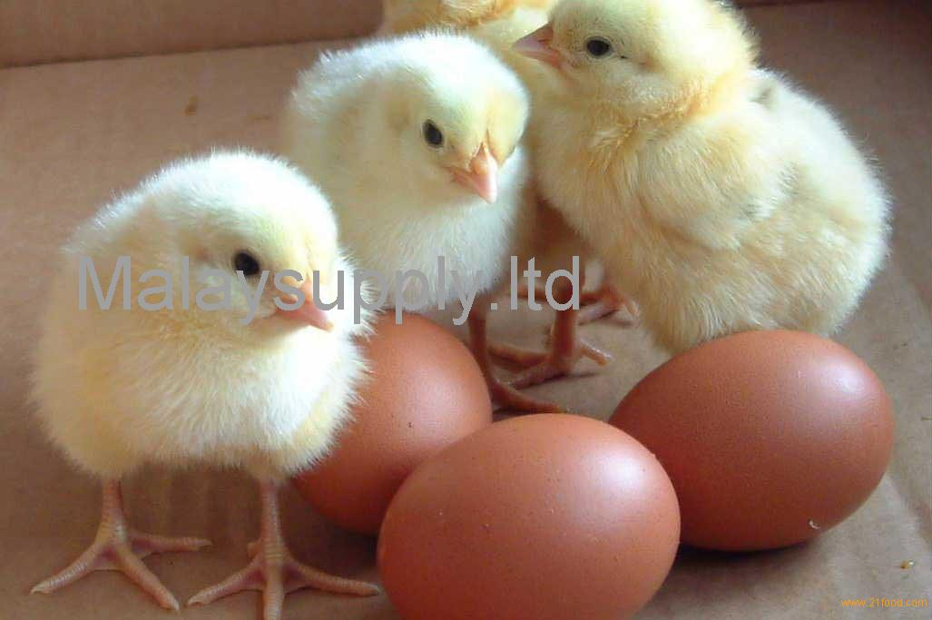 Broiler hatching eggs Cobb 500 and Ross 308 and Chicken table eggs ...