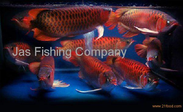Golden Xback Arowana fishes for sale!!