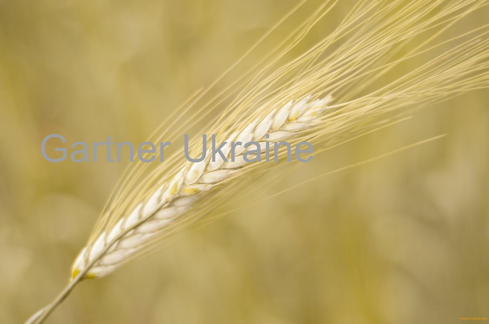 grain of wheat analysis