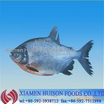 Frozen fresh red pomfret fish