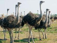 HIGH QUALITY OSTRICH FOR SALE AND OTHER OSTRICH PRODUCTS!!!