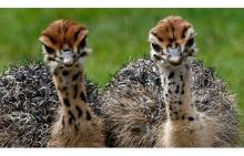 Adorable ostrich chicks and eggs