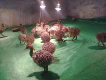 Fresh and fertile ostrich eggs and chicks for sale