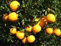 mandarin & Yellow Oranges