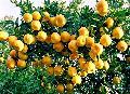 Chinese mandarin Citrus fruits