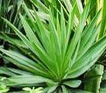 Yucca P.E.