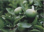 Citrus auranium Extract