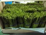 Philnova Asparagus