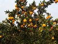 Fresh and sweet mandarin orange