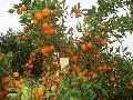fresh and hot selling nanfeng orange